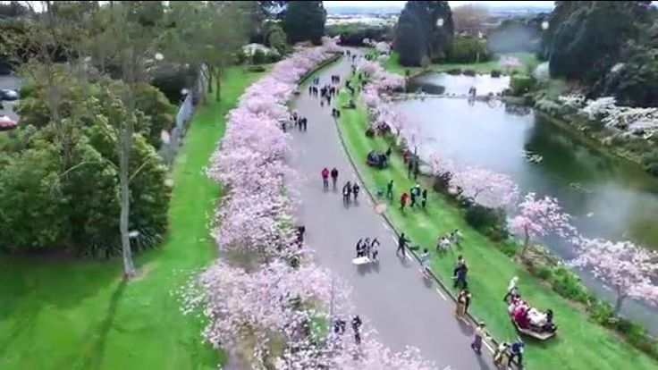 Cherry Blossoms, Palmerston North, Manawatu