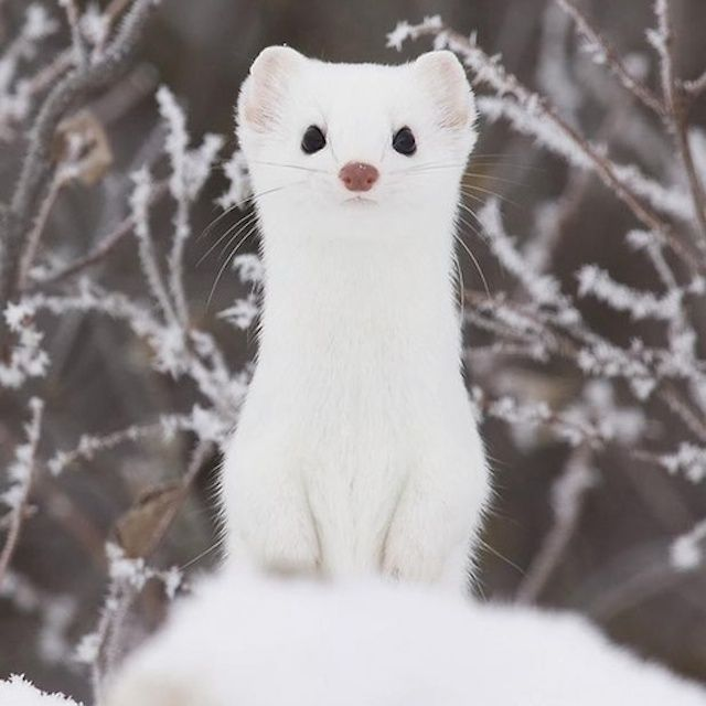 Lovable Ermine in Snowy Panorama