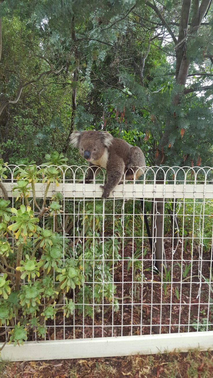 Clifford koala on my front fence