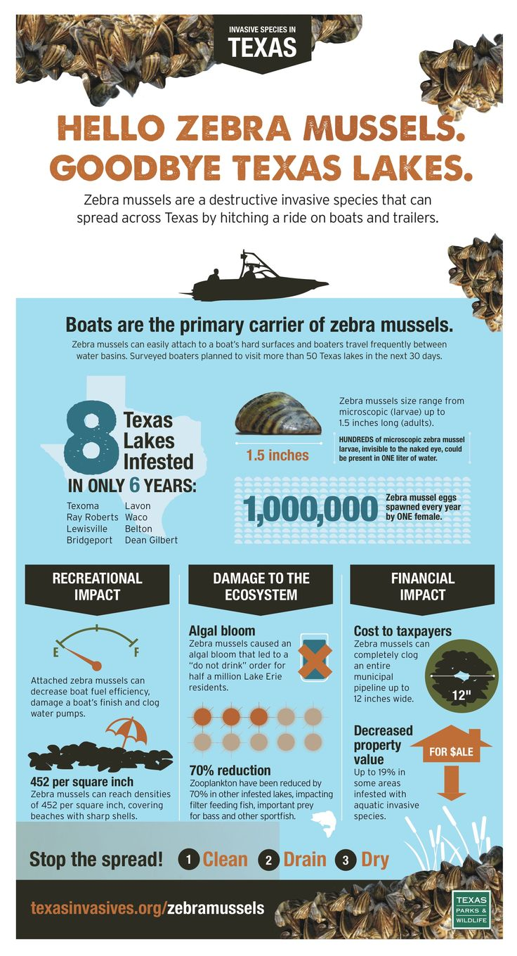 a short description of the invasion of zebra mussels Zebra mussels are native to the black and caspian seas in eastern europe they were transported across the atlantic ocean in the ballast water of an empty cargo ship.