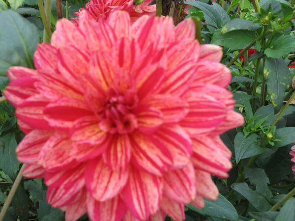 """Dogs Breakfast - 5"""" ID WOW! A colour mix up. Fushia pink with red streaks throughout, yellow hints in center. Floriferous early bloomer. E. 4'"""