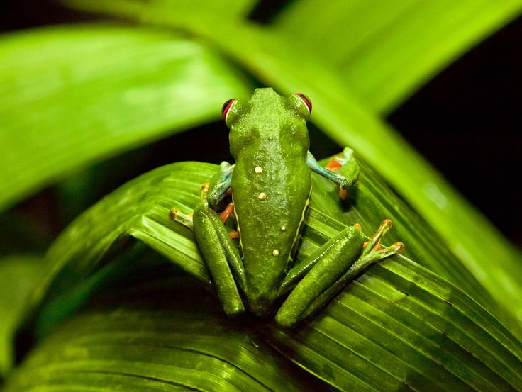 "Costa Rican Tree Frogs"" by Brittany Murphy 
