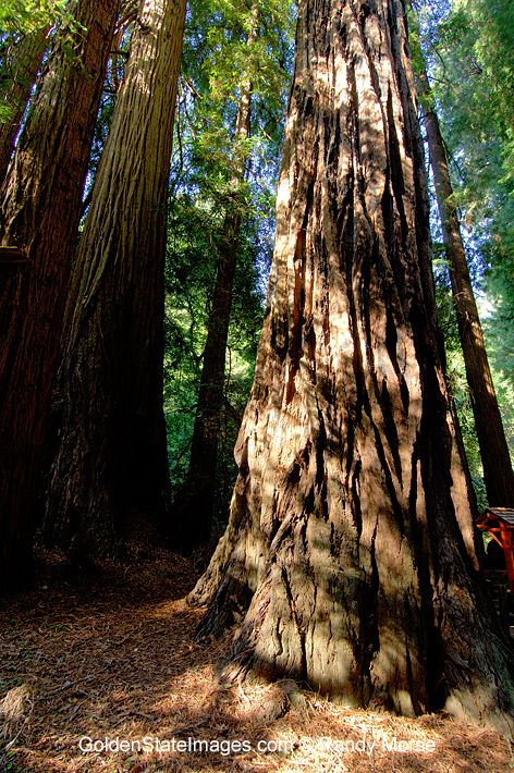 Documented as living up to 2000 years and is the tallest tree in the world. Height to 350 feet or more. species: Sequoia sempervirens loca...