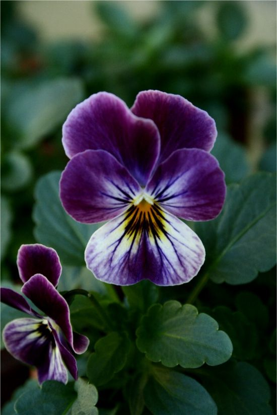 Violas love these little ones d.