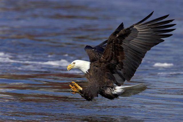 Eagle in Flight - Vancouver Island