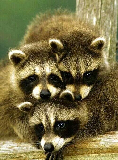 precious Raccoon triplets :D <3 <3 <3