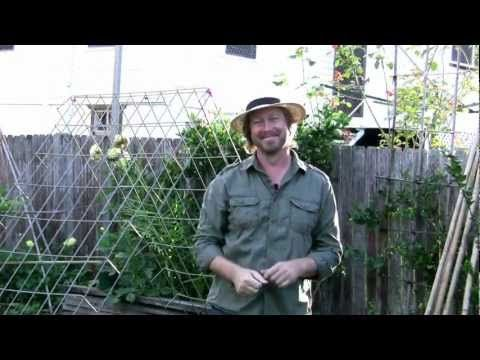 Fruit Growing: How to grow watermelon vines in small spaces - Growing watermelon - YouTube