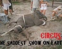 DEMAND RELEASE NOW OF ABUSED ELEPHANT 'NOSEY'
