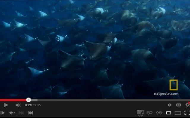 Il più grande branco di pesci diavolo mai filmato, davvero meraviglioso. #pescidiavolo #scuola #mobularays