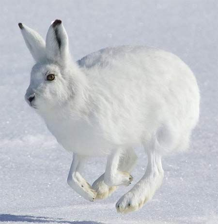 Best 25+ Arctic Tundra Animals ideas only on Pinterest | Wild ...
