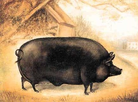 The Large Black Hog: An animal to be revered.
