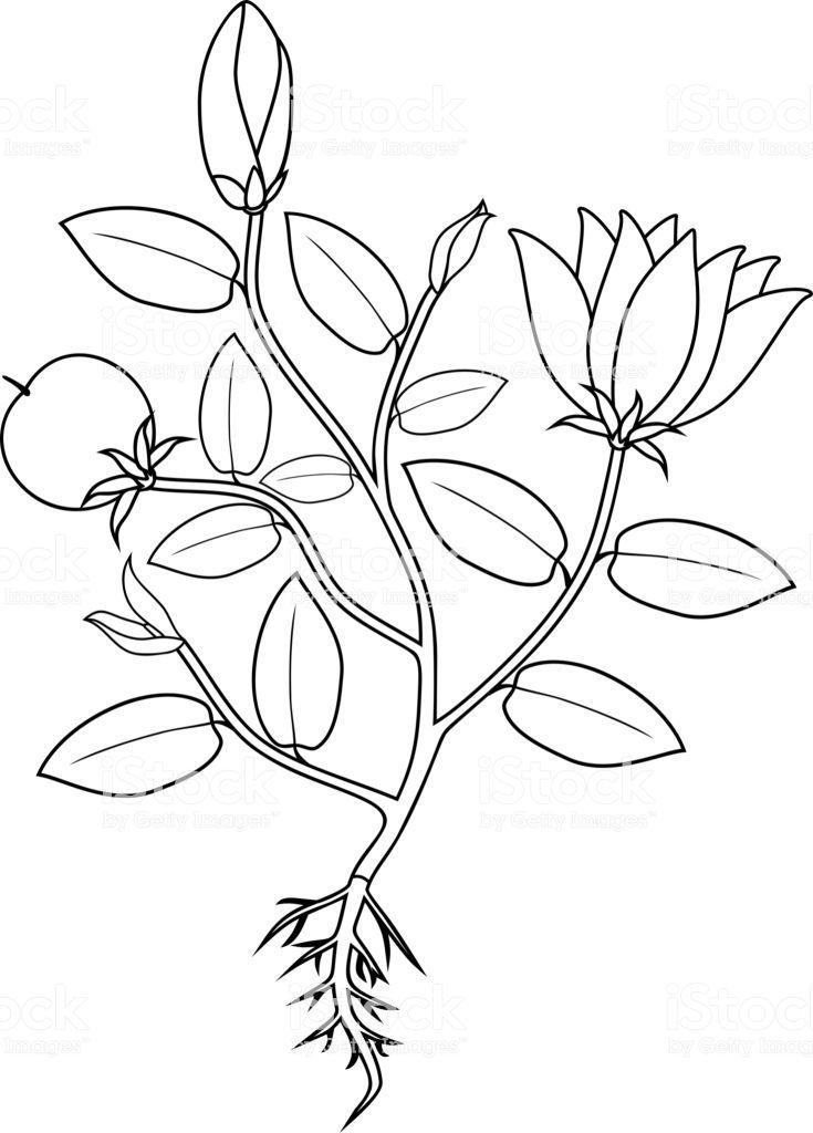 Coloring Page Plant With Flowers Leaves Fruit And Root System Malvorlagen Blumen Malvorlagen Ausmalbilder
