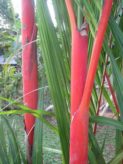 Lipstick Palm | Flickr - Photo Sharing!