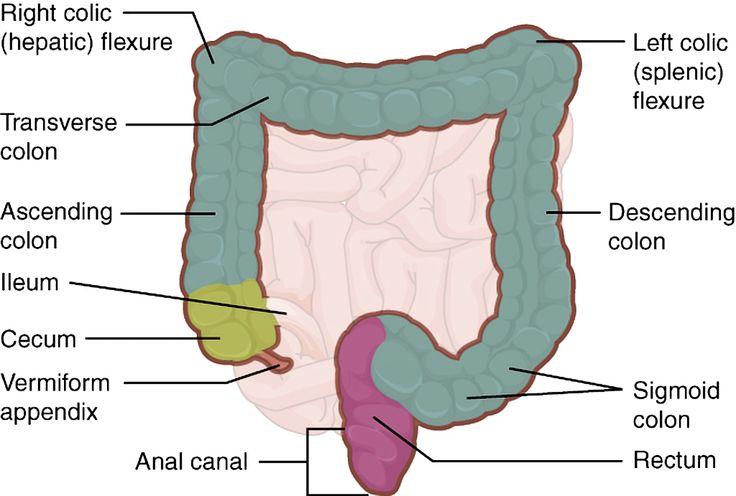 Large intestine: illustration   Radiology Case   Radiopaedia.org