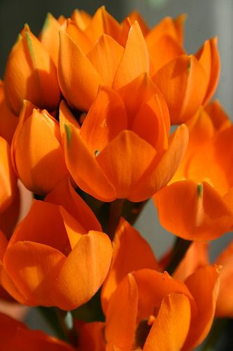 Tulips in the spring. To keep squirrels from eating your bulbs, put some dog hair in hole when planting.