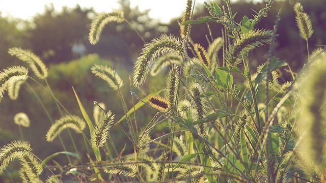 Auf dem Land 시골에서  강아지풀 풀 초록 시골 밭 아산 빛  Borstengras Kräuter grün Land Feld Asan Licht foxtail Weeds green Country Field Asan Light