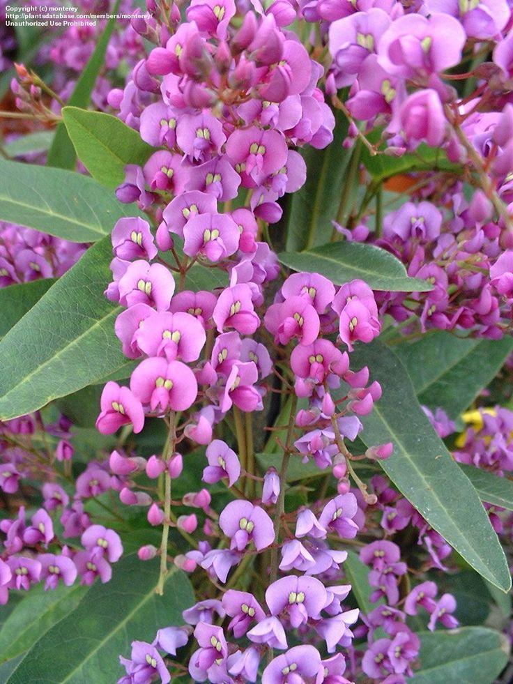 Purple Coral Pea, Lilac Vine (Hardenbergia violacea) (aka Happy Wanderer)  This vine is gorgeous.  Australian native.