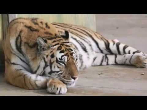 Get all these amazingly Tiger HD Wallpaper.