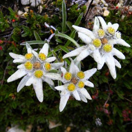 Floare de Colt Leontopodium alpinum - RoyalPlant.ro