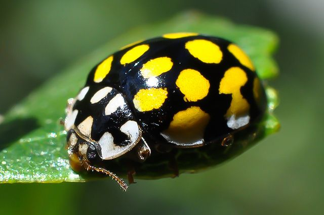 Yellow ladybug? by jkk79, via Flickr