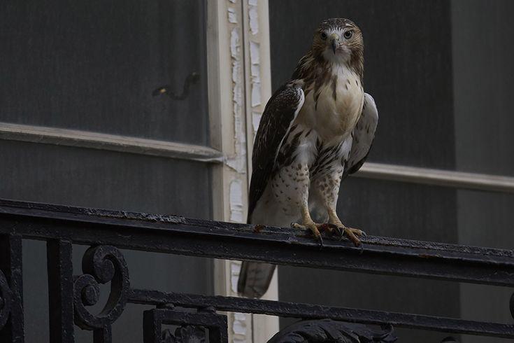 Pale Male Hawk in NYC July 31, 2015