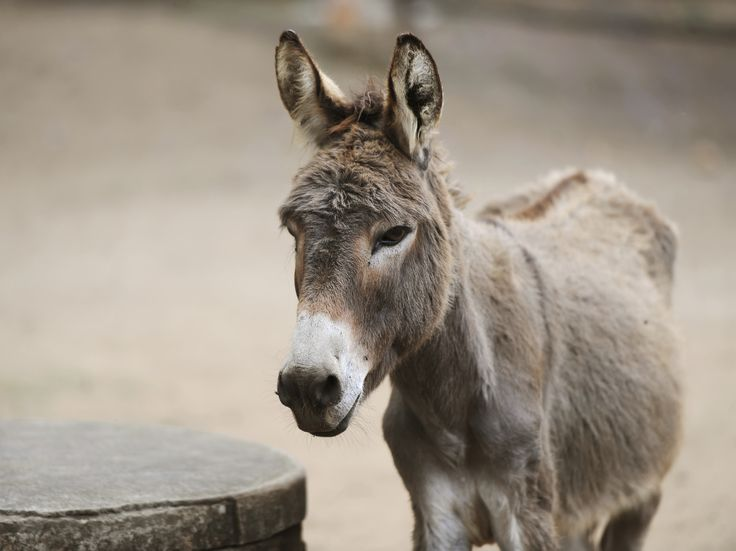 A number of African countries have banned China from buying their donkeys, saying demand for the four-legged creatures has become unsustainable. Niger announced a ban on the export of donkeys this month after trade of the animals increased by three times in the last year, mainly to Asian countries.