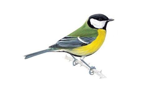botanical illustrations alpes birds - Google Search