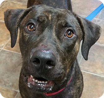 Pictures of Blue a Cane Corso Mix for adoption in Lisbon, OH who needs a loving home.