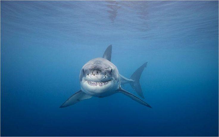 Maravillosa fotografía de un Gran Tiburón Blanco (Carcharodon carchareas) | La Reserva