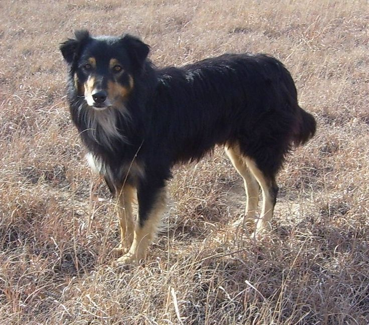 "english shepherd | Johnny, aka ""Tip"", is one of my best Susie Q pups. He is loyal ..."