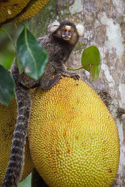 A Mico (a type of Marmoset) enjoys a Jaca snack.  Jardim Botanico, Rio de Janeiro, Brazil