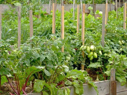 С чем рядом можно сажать помидоры: в теплице и открытом грунте