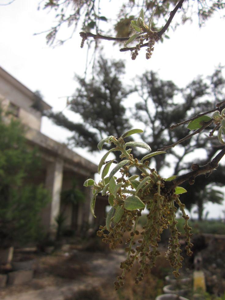 ELCHE - Carrasca (encina autóctona), con sus doradas inflorescencias primaverales a finales de Abril. Ejemplar centenario, ubicado en la pedanía rural ilicitana de Asprillas.