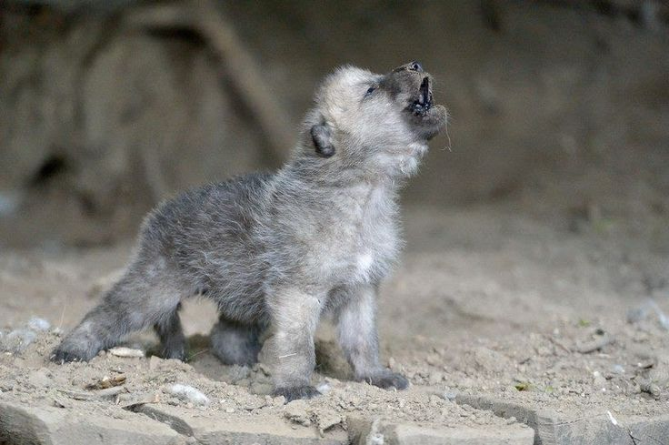 Amazing footage of newborn wild wolf pups learning to howl will make your day   Wolf pups are whelped from late March to early May. In nort...