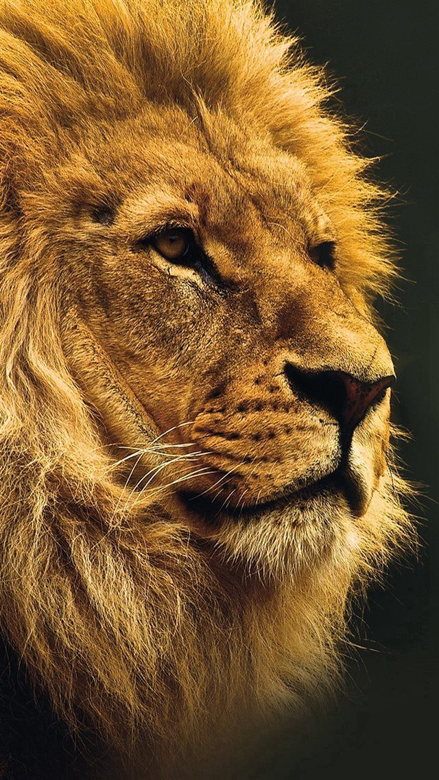 National Geographic Nature Animal Lion Yellow Iphone 8 Wallpapers
