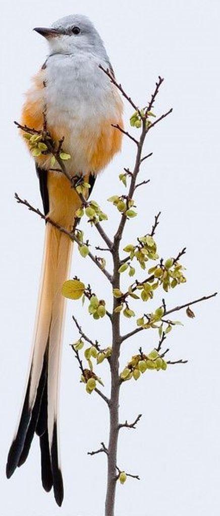 エンビタイランチョウ Scissor-tailed Flycatcher, Texas Bird-of-paradisem, Swallow-tailed Flycatcher (Tyrannus forficatus)