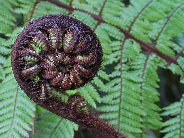 """A ponga fern (Cyathea dealbata) and is also known as the """"silver fern"""" 