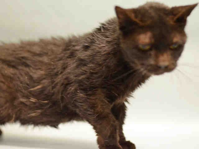 SARAH - A1096535 - - Manhattan  Please Share:*** TO BE DESTROYED 11/14/16 *** -  Click for info & Current Status: http://nyccats.urgentpodr.org/sarah-a1096535/