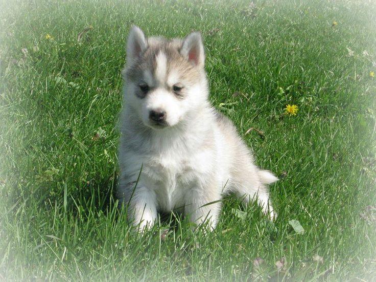 Kybra Kennel puppy of Lyric & Kazan www.kybrakennels.ca