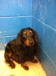 Jackson is an adoptable Dachshund Dog in Evansville, IN. For information about any of our adoptable Dogs and Puppies, send an e-mail to: anotherchanceforanimals@gmail.com Also, 'like' us on FACEBOOK: ...