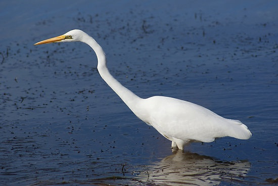 Egret #egret, #bird, #wading, #water, #white