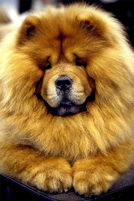 the chow chow origin personality physical characteristics and