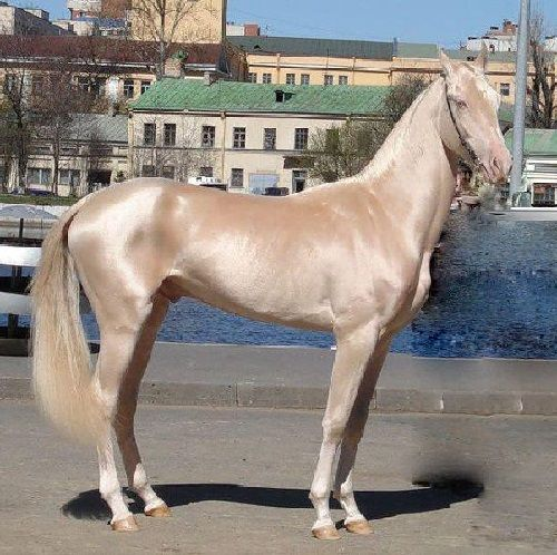 Most Beautiful Horses | Akhal-Teke the most beautiful horse in the world