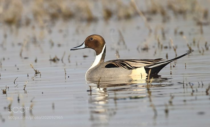 The pintail or northern pintail by RAHULw The pintail or northern pintail is a duck with wide geographic distribution that breeds in the northern areas of Europe Asia and North America. It is migratory and winters south of its breeding range to the equator.  Scientific name: Anas acuta landscapeduckportraitbirdswaternaturetravelanimalsbeautifulcreativecute500pxwildlifephotographyphotoshoplightroomtop…