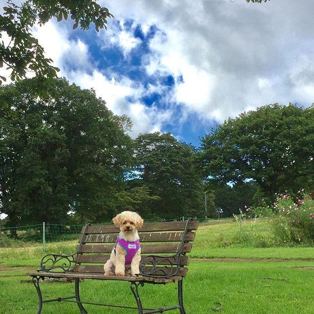 ・ いつになくおすまし君🐶🍀 ・ ・ #黒姫高原 #コスモス園 🌸 #犬 #わんこ #愛犬 #dog #toypoodle  #poodle  #dogstagram  #instapoodle  #トイプードル #トイプードル部 #トイプードル大好き  #おすまし顔  #犬とお出かけ ・ まだ木曜日…疲れてきたぁ💦 月曜日休みだったのにね🙄