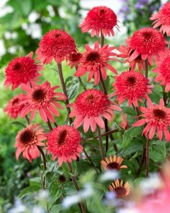 """Echinacea Raspberry Truffle, 18-22"""", short and stout, making it the perfect companion for summer phlox, lilies, sedum, coreopsis and many more colorful perennials. The soft, yet saturated salmoney-pink bloom color is long lasting and fades to a coral pink as it ages.    The ray flowers are deep salmon in color, like a wild caught sockeye salmon and the cone or center of the bloom begins chocolate brown and unfurls to reveal a very double, button top in the same salmon color as the ray petals…"""