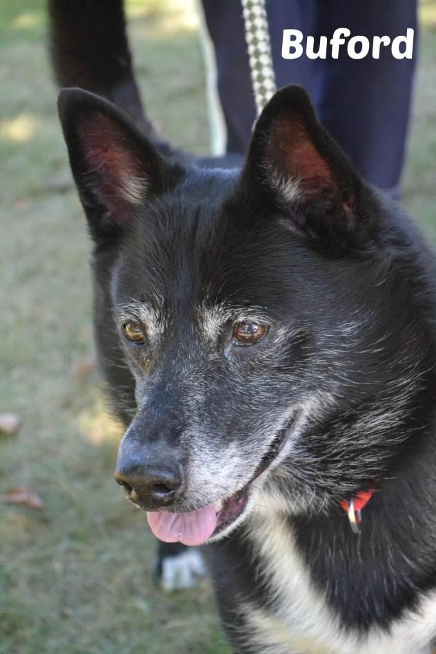 09/23/16 : Buford - URGENT - MAHONING COUNTY DOG POUND & ADOPTION CENTER in Youngstown, OH - ADOPT OR FOSTER - Adult Male Shepherd/Spitz Mix