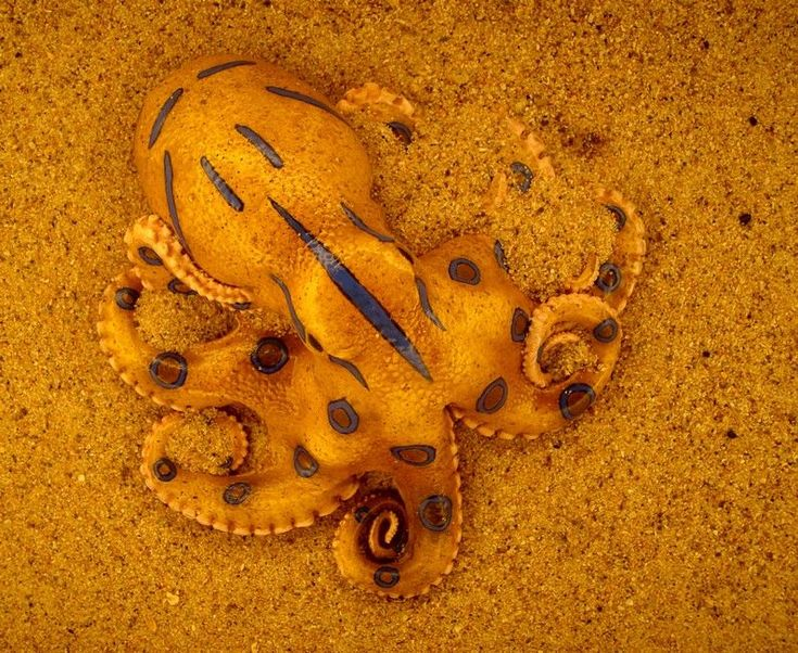 Sublime 25+ Awesome picture of Blue-Ringed Octopus https://meowlogy.com/2018/02/08/25-awesome-picture-blue-ringed-octopus/ The venom consists of a combination of neurotoxins and cardiotoxins
