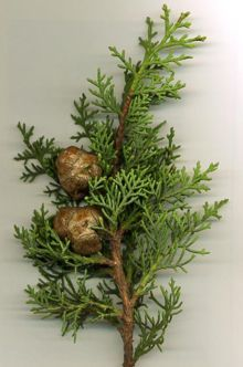Cupressus sempervirens - Wikipedia, the free encyclopedia