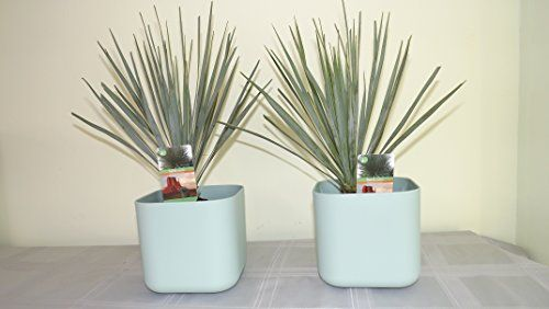small contemporary square planter pair with Big Bend Yucca's. Delivery in first week of December. House plant, office plant, hardy garden plants, tropical plant, spiky, tropical, Yucca Rostrata, Big bend yucca, Garden, housewarming gifts, potted plants, plants pots, office plants, pot plants, plants in pots. Christmas gift ideas, Mens Christmas gifts, Christmas gifts for dad, Christmas gifts for her, Christmas presents for her, Christmas gifts for mum, Christmas gifts for girlfriend, ...